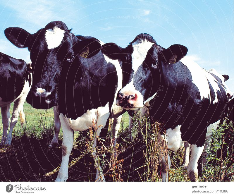 Nature Cow Cattle