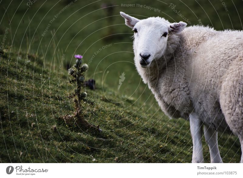 Well, sheep, I guess. Sheep Thistle Sheepskin Plant Baaa Wales Scotland Great Britain Flock Shepherd Lamb Slope Pasture Willow tree Willow-tree Meadow