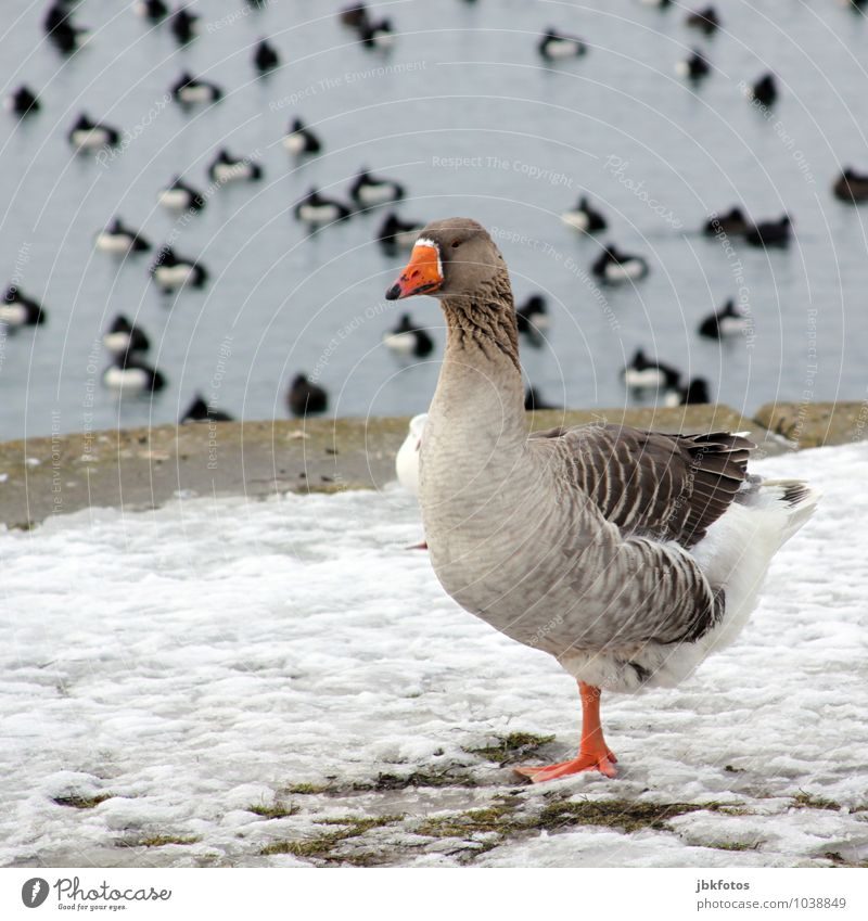 one-legged chills Environment Nature Landscape Animal Wild animal Bird Goose Gray lag goose Swimming & Bathing Relaxation Colour photo Exterior shot Day Evening