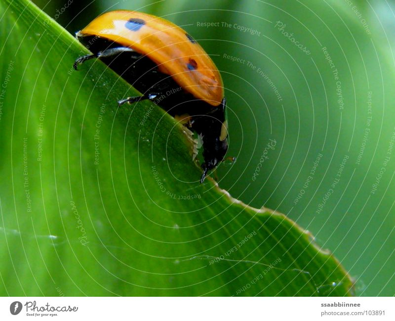 on a fine line Ladybird Leaf Green Red Spotted To feed Legs Insect Summer Useful Macro (Extreme close-up) Close-up