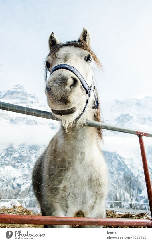 Beautiful White Calm Animal Winter Cold Mountain Snow Friendship Ice Stand Large Friendliness Frost Snowcapped peak Horse