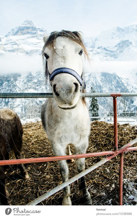 Friendly horse Animal Farm animal Horse Animal face Pelt Halter 1 Fence Manure heap Looking Stand Authentic Friendliness Large Beautiful Natural Curiosity Cute