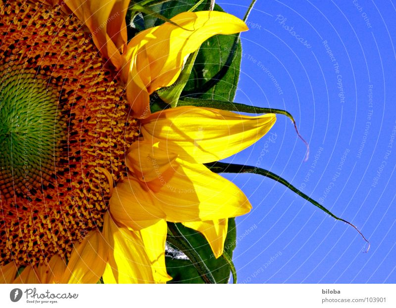 The sun in the garden Sunflower Flower Blossom Blossom leave Kernels & Pits & Stones Yellow Sky blue Gaudy Back-light sunflower cores Blue Contrast