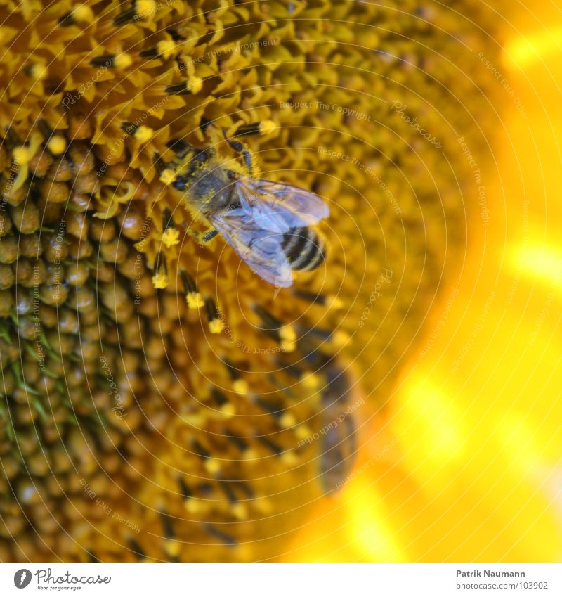 Nature Plant Animal Yellow Blossom Insect Bee Living thing Sunflower Seed To feed Depth of field Pollen Honey