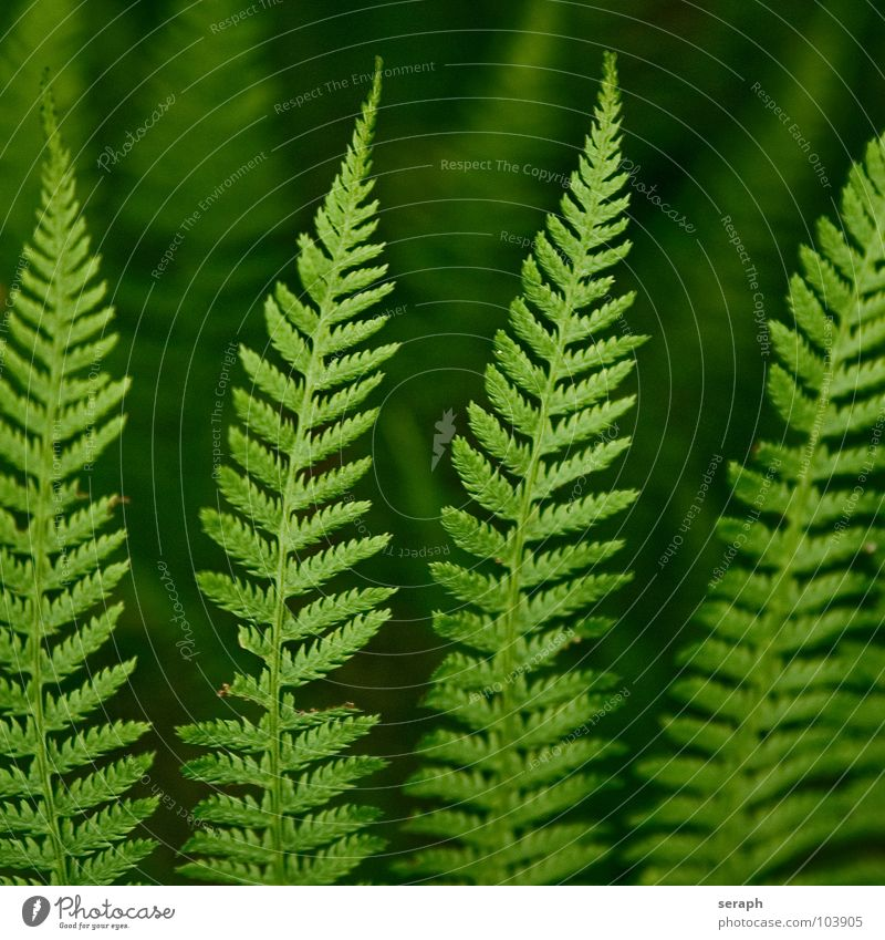 Fern Pteridopsida Green Plant royal fern spotted fern Nature Fern leaf Delicate Stalk Plumed Fresh Growth Botany Macro (Extreme close-up) Spore Natural Organic