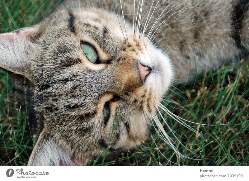 Cat Animal Lie Sleep Pet Domestic cat Cat eyes Cat's head