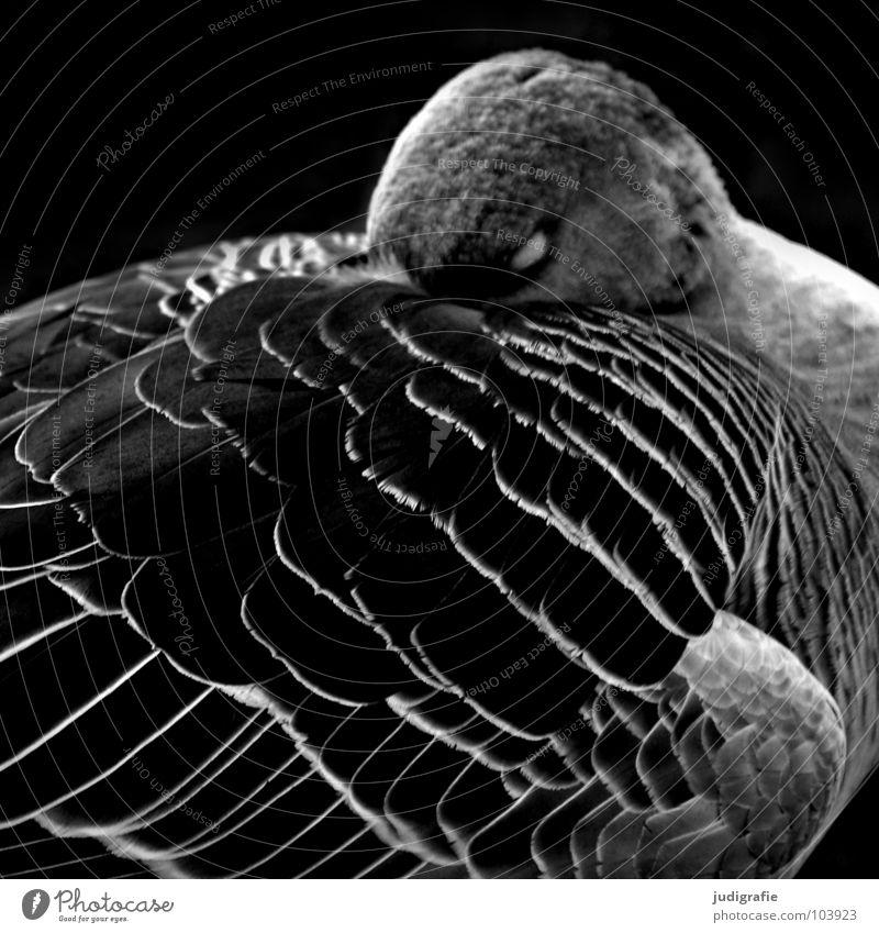 Nature White Calm Black Relaxation Dark Sadness Bird Sleep Grief Feather Wing Noble Beak Goose Wild goose