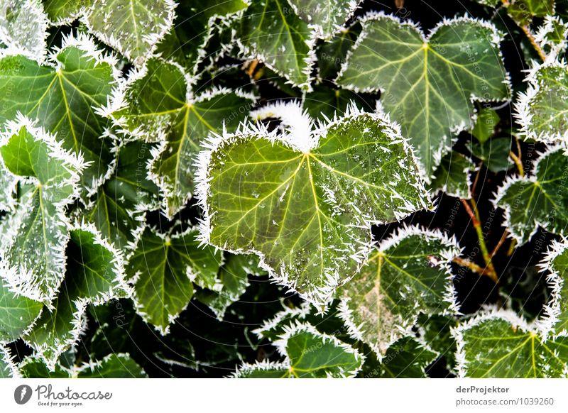Brrrr, it's getting cold Environment Nature Landscape Plant Elements Winter Beautiful weather Ice Frost Leaf Foliage plant Esthetic Elegant Ivy Hoar frost
