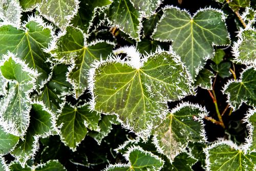 Nature Plant Landscape Leaf Winter Environment Ice Elegant Esthetic Beautiful weather Elements Frost Environmental protection Foliage plant Ivy Nature reserve