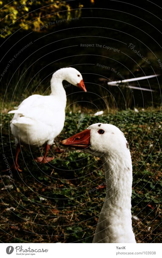 Water White Green Red Dark Meadow Eyes Grass Coast Bird Orange Feather Search Lawn Pond Neck