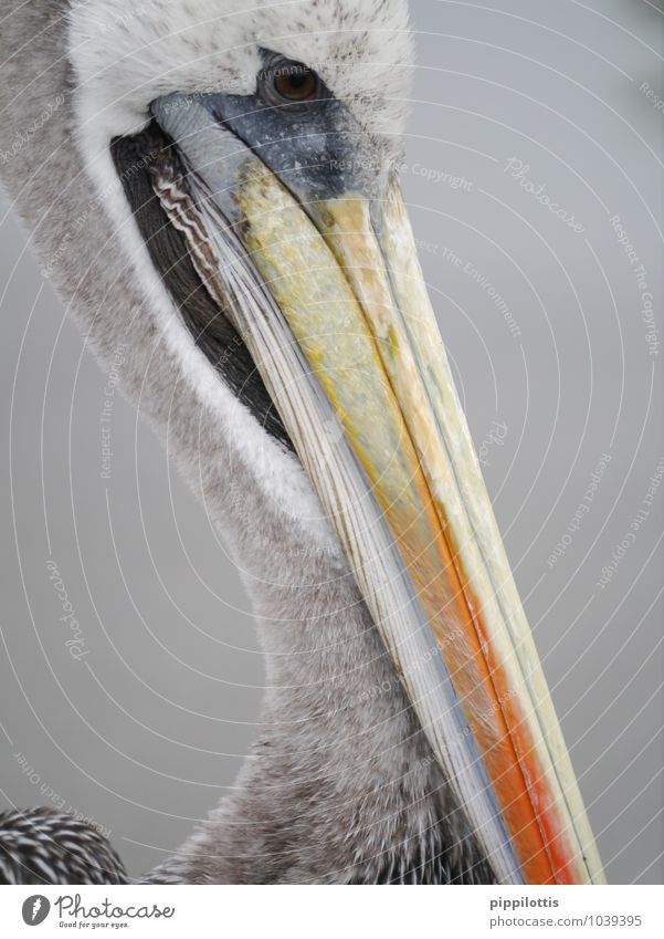 pelican Paracas Peru Animal Wild animal Bird Animal face Pelican Beak Head Looking Wait Near Gray Orange Serene Endurance Adventure Experience Exotic Colour
