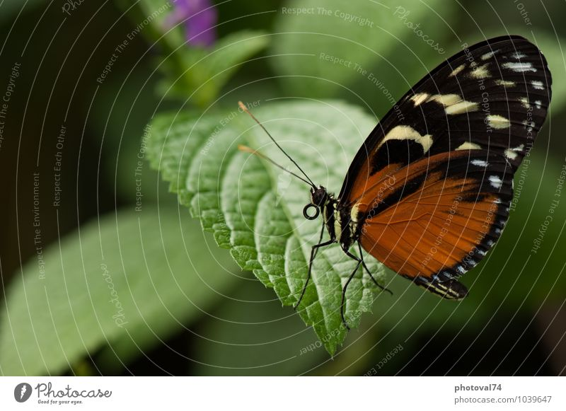 Quiet butterfly Animal Leaf Butterfly 1 Esthetic Elegant Exotic Beautiful Small Natural Curiosity Brown Green Black Emotions Love of animals Peaceful Colour