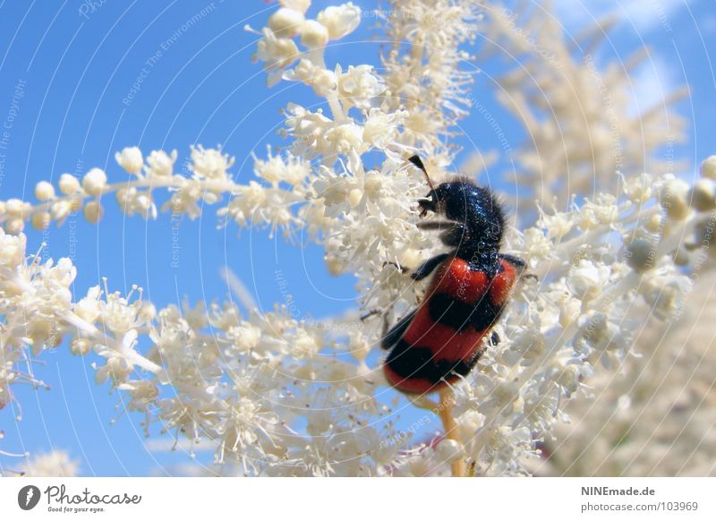 little PuschelWuschel Red Black White Sky blue Leg of a beetle Disheveled Blossom Plant Insect Crawl Summer Beautiful weather Bushes Blur Striped Cute Sprinkle