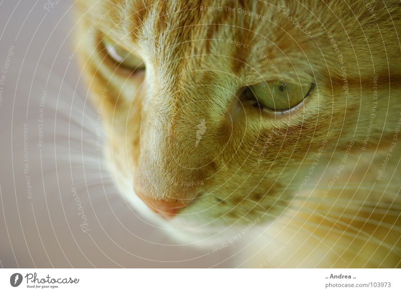 Red Tiger 5 Nose Pelt Cat Whisker Mammal tigi Domestic cat mietzi putty whiskers mackerelled Eyes Colour photo