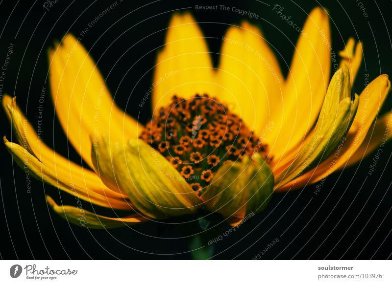 Green Flower Black Yellow Life Garden Blossom Blossoming Stalk