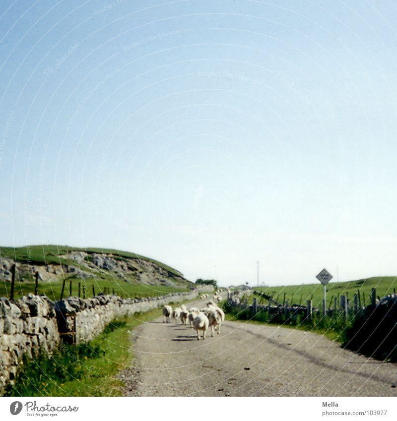 Sky Blue Green Summer Street Grass Lanes & trails Wall (barrier) Walking Target Lawn Sheep Traffic infrastructure Come Mammal Scotland