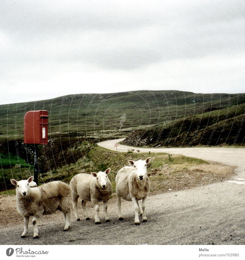 Postman, bring me a letter Sheep Scotland Mailbox Email Red Clouds Gray Hill Great Britain Looking Baaa Traffic infrastructure Mammal Boredom Street road