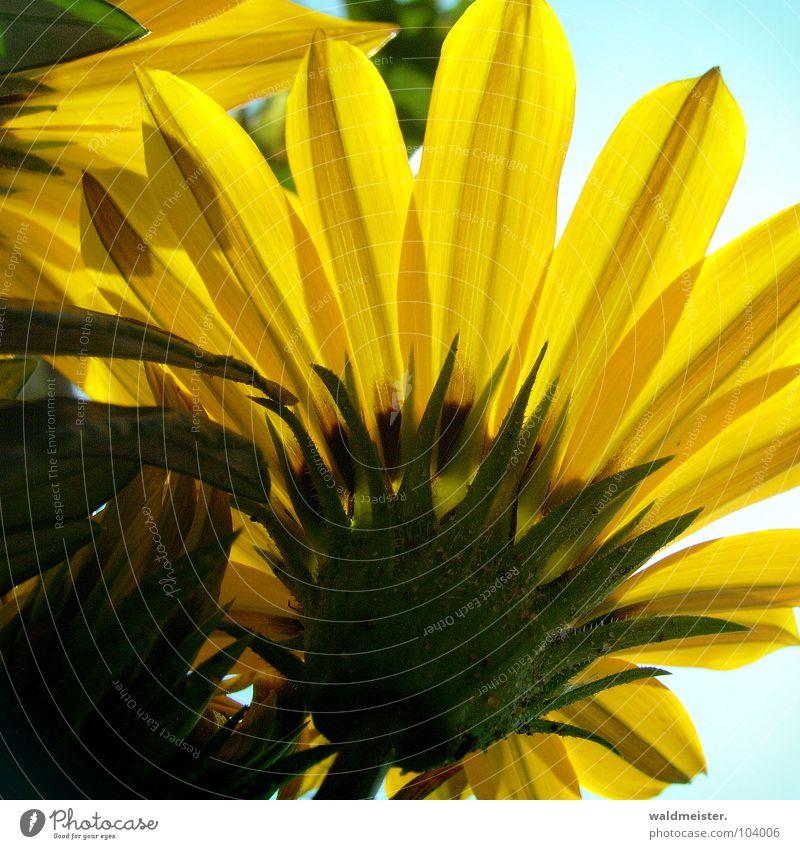 Sky Flower Green Summer Yellow Blossom Garden Gold Aster Flowerbed Gazania