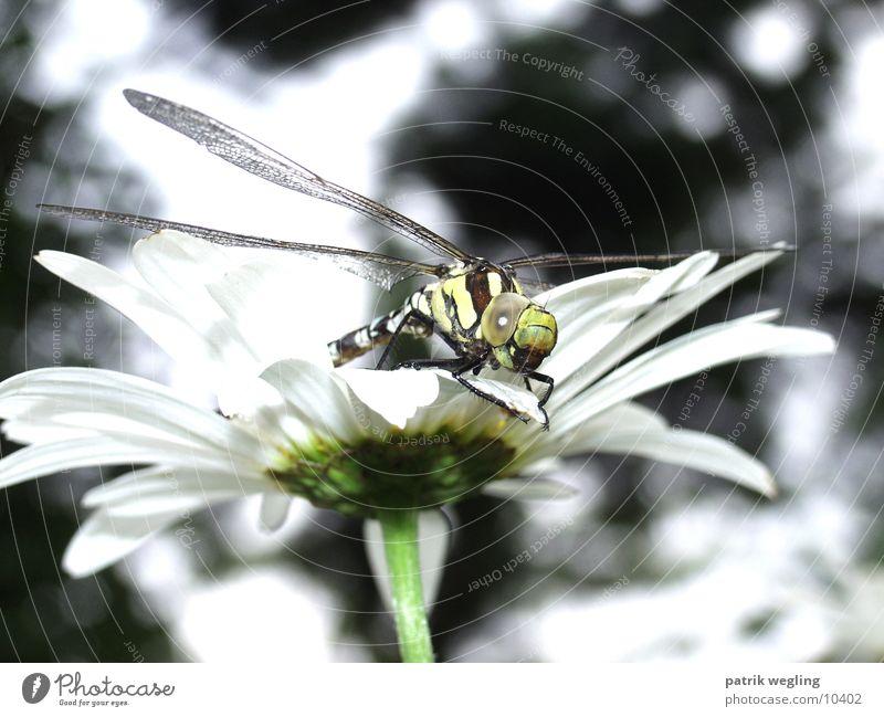 Flower Dragonfly