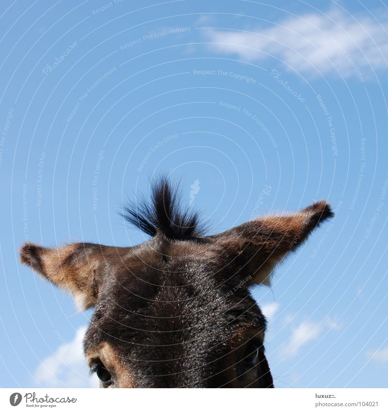 Donkey Punky Horse Part Puppydog eyes Innocent Curiosity Hair and hairstyles Mane Services Mammal Bangs Ear long ears Looking standing hairstyle tufts Wait