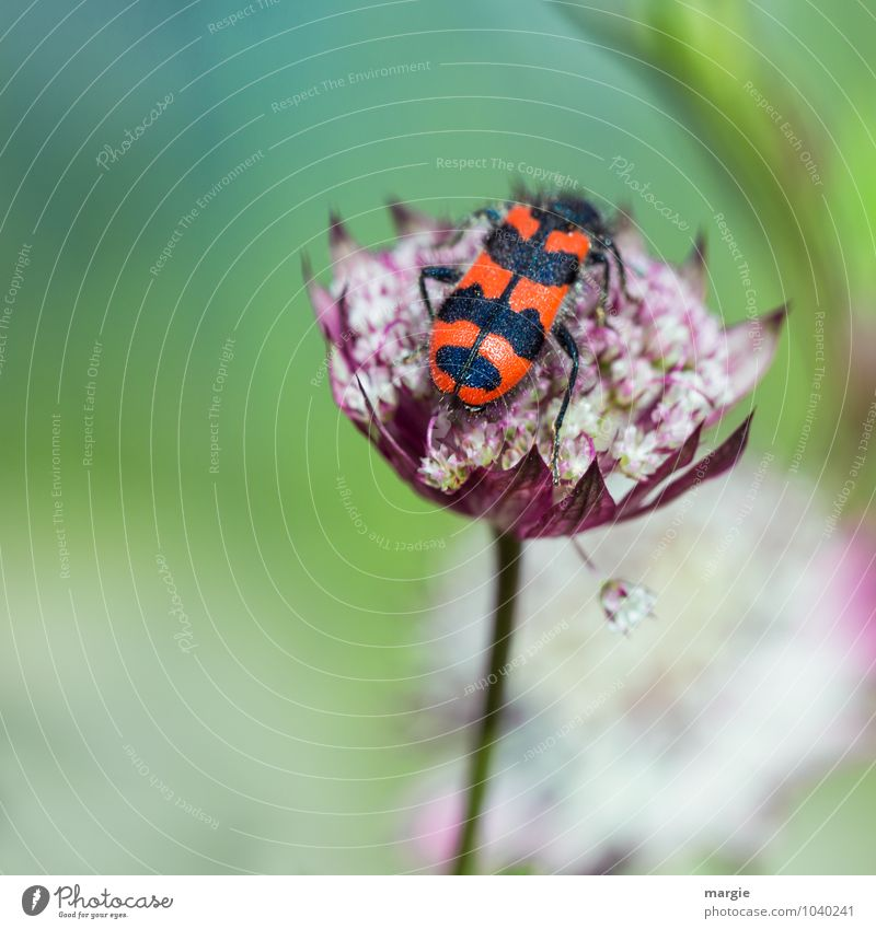 A bee - beetle on a blossom Nature Plant Spring Summer Flower Blossom Exotic Flower stem Blossom leave Garden Garden Bed (Horticulture) Animal Beetle 1 Flying