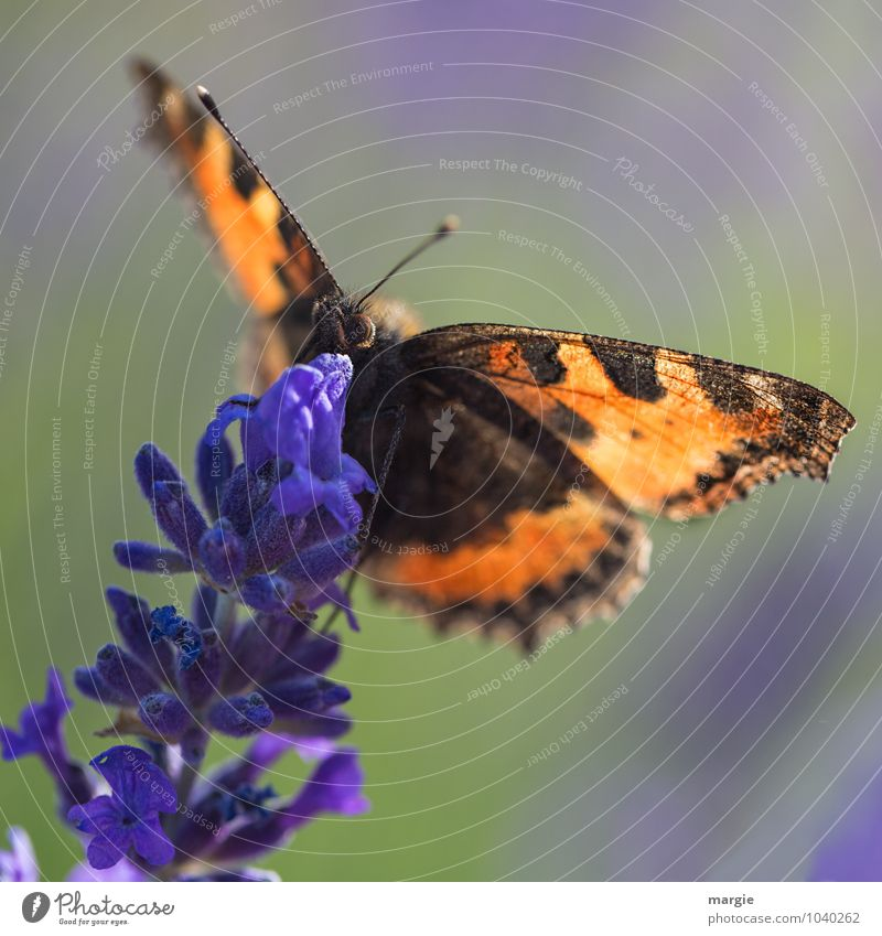 Safe landing, a butterfly on a lavender blossom Nature Plant Blossom Foliage plant Lavender Garden Animal Wild animal Butterfly Animal face 1 Flying Hang Crawl