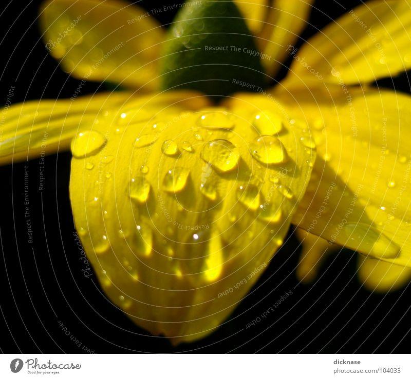 Water Flower Summer Black Yellow Drops of water Rope Wrinkles Flower power