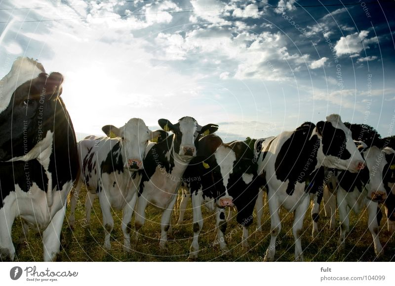 Nature Animal Stand Curiosity Cow Row Watchfulness Mammal Cattle