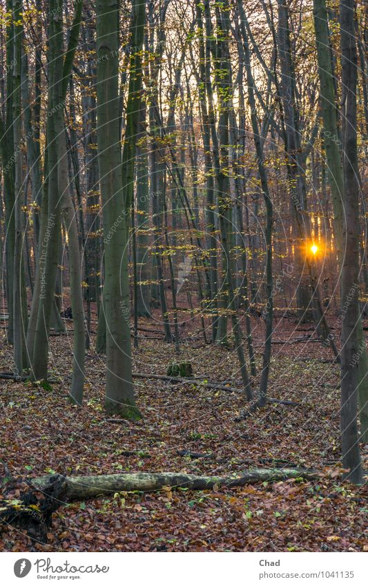 Forest lamp To go for a walk Environment Plant Sunrise Sunset Autumn Tree Observe Relaxation Cold Warmth Brown Gold Orange Calm Loneliness Colour photo