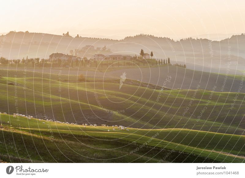 Sheep grazing on the Tuscan field in the setting sun. Sky Nature Green Beautiful Tree Landscape Clouds Animal House (Residential Structure) Meadow Grass Horizon
