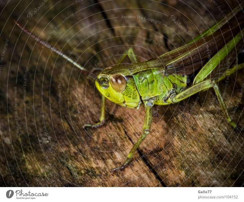 Nature Green Summer Eyes Animal Jump Grass Small Posture Insect Living thing Feeler Hop Salto Locust Acrobatics