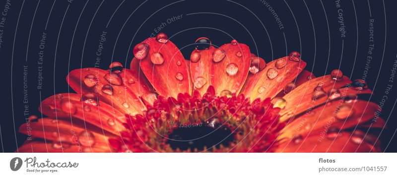 water pearls Nature Plant Drops of water Summer Flower Blossom Exotic Gerbera Fresh Wet Beautiful Yellow Orange Red Black Colour photo Interior shot Studio shot