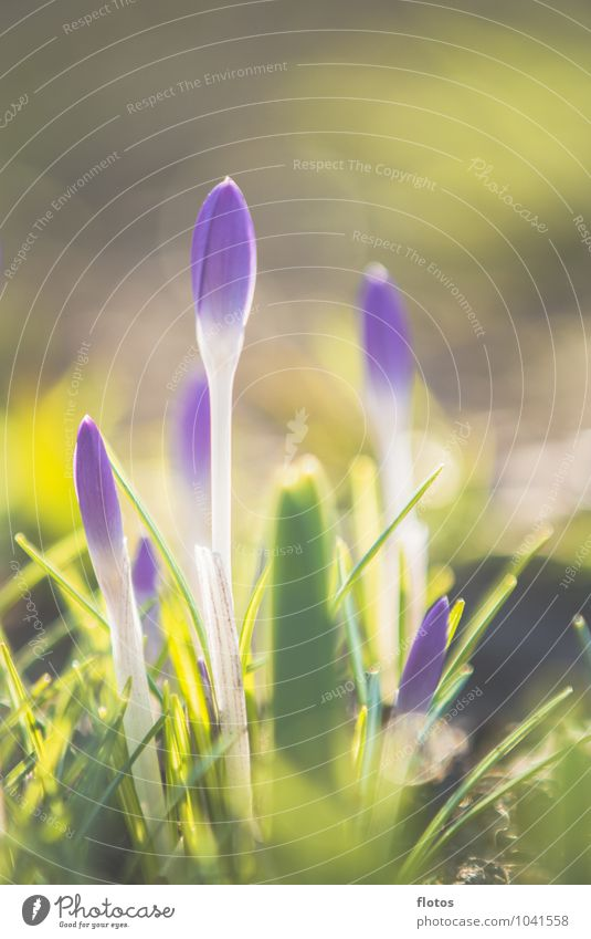 All spring or what? Nature Plant Sunlight Spring Beautiful weather Flower Grass Blossom Wild plant Meadow Natural Yellow Green Violet White Crocus Colour photo