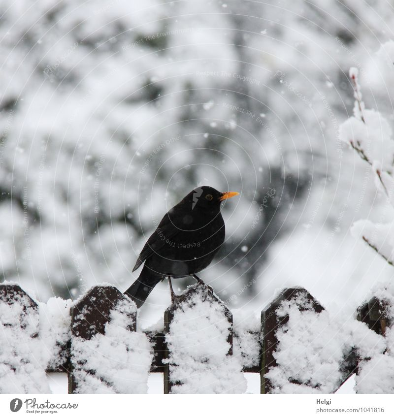 in the snow flurry... Environment Nature Landscape Winter Snow Snowfall Garden Animal Wild animal Bird Blackbird 1 Fence Wood Stand Wait Authentic Cold Natural