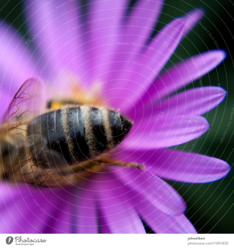 buttocks Nature Plant Animal Flower Blossom Aster Park Farm animal Wild animal Bee 1 Souvenir Blossoming Fragrance Flying Crawl Pink Sex Accumulate Diligent
