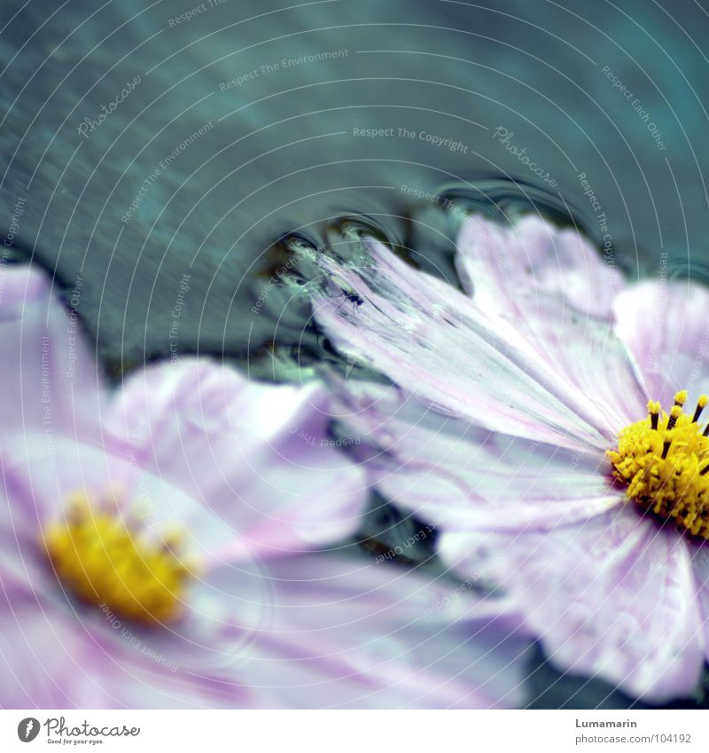 Old Water Blue White Beautiful Flower Summer Yellow Cold Life Gray Garden Blossom Sadness Rain Weather