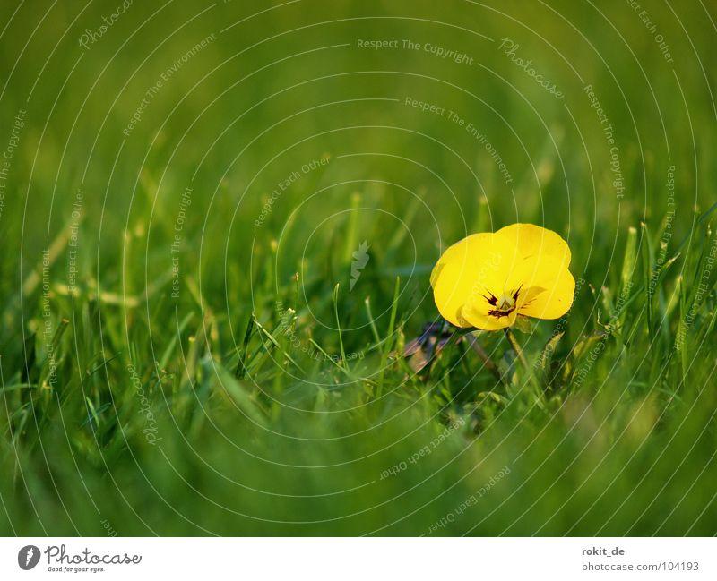 Green Plant Summer Flower Joy Loneliness Yellow Meadow Desire Lawn Clarity Depth of field Lust Pansy Vanilla sex
