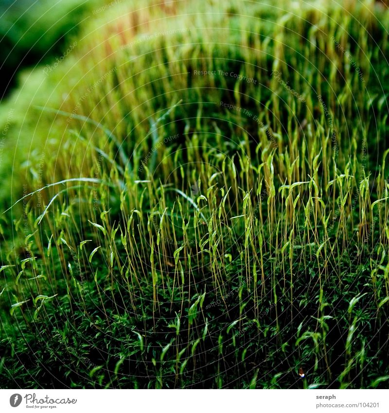 Nature Plant Green Background picture Small Growth Soft Stalk Moss Botany Nest Lichen Woodground Spore Symbiosis