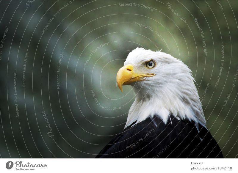 eagle eye Forest Animal Wild animal Bird Bird of prey Eagle Bald eagle Feather 1 Sign Heraldic animal USA Observe Hunting Looking Aggression Esthetic