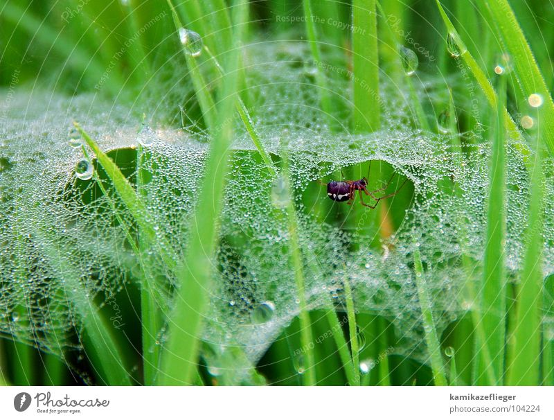 Look who's crazy. Spider Spider's web Drops of water Grass Uckermark Polder Meadow Green Diligent Summer Macro (Extreme close-up) Close-up Net Water Dew Spin