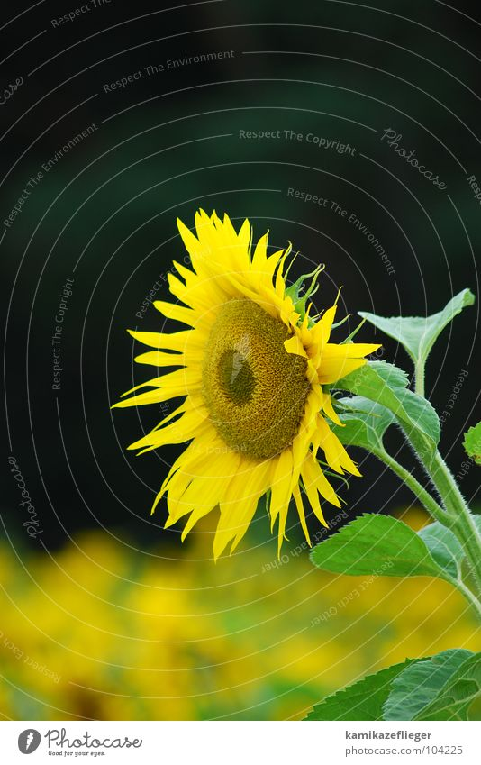 Flower Green Summer Yellow Brown Blossoming Watchfulness Sunflower Sunflower field