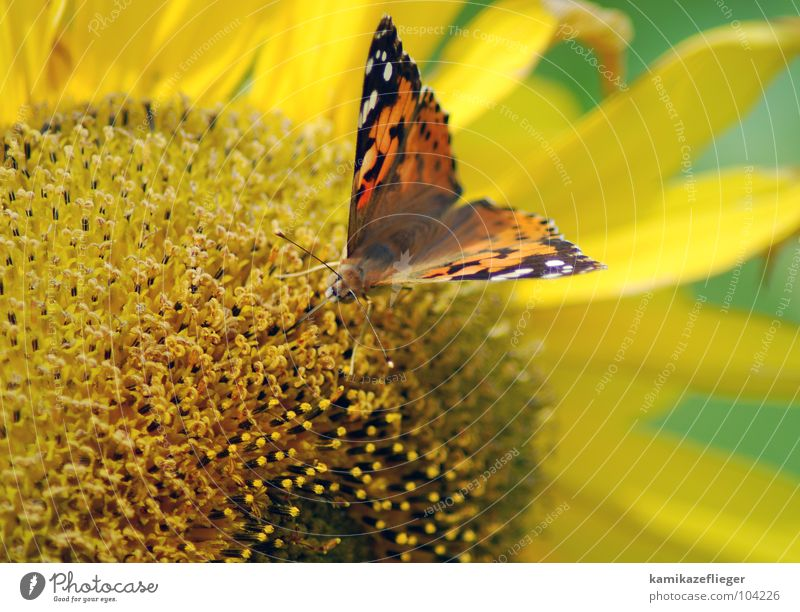 Nature Flower Green Summer Vacation & Travel Black Yellow Blossom Brown Flying Sit Sweet Butterfly Blossoming Sunflower To feed
