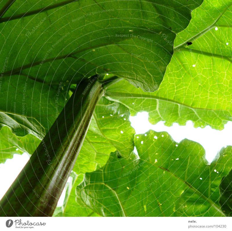 péniblement Rhubarb Light Green Sauerland Stalk Leaf Hollow Healthy Fresh Crunchy Lighting Worm's-eye view Vessel Dark Growth Aspire Vegetable nele. Garden Sky