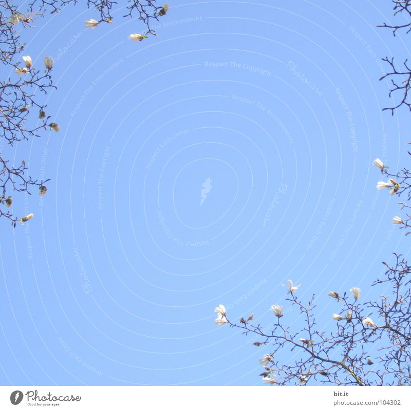 Sky Nature White Blue Beautiful Tree Plant Summer Above Blossom Spring Blossoming Beautiful weather Flower Twigs and branches Cloudless sky