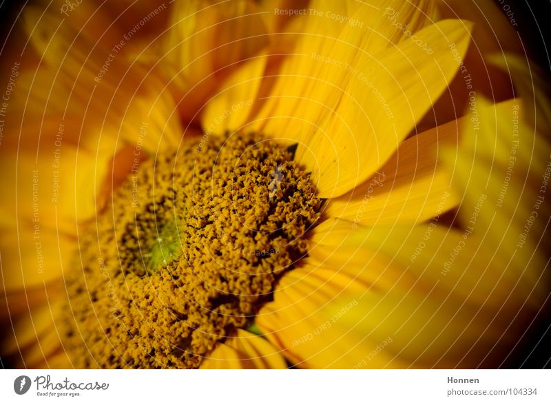 Sun In The Dark II Sunflower Daisy Family Basket Yellow Black Plant Vase Angiosperm Ornamental plant Summer Field Maturing time Growth Favorite flower