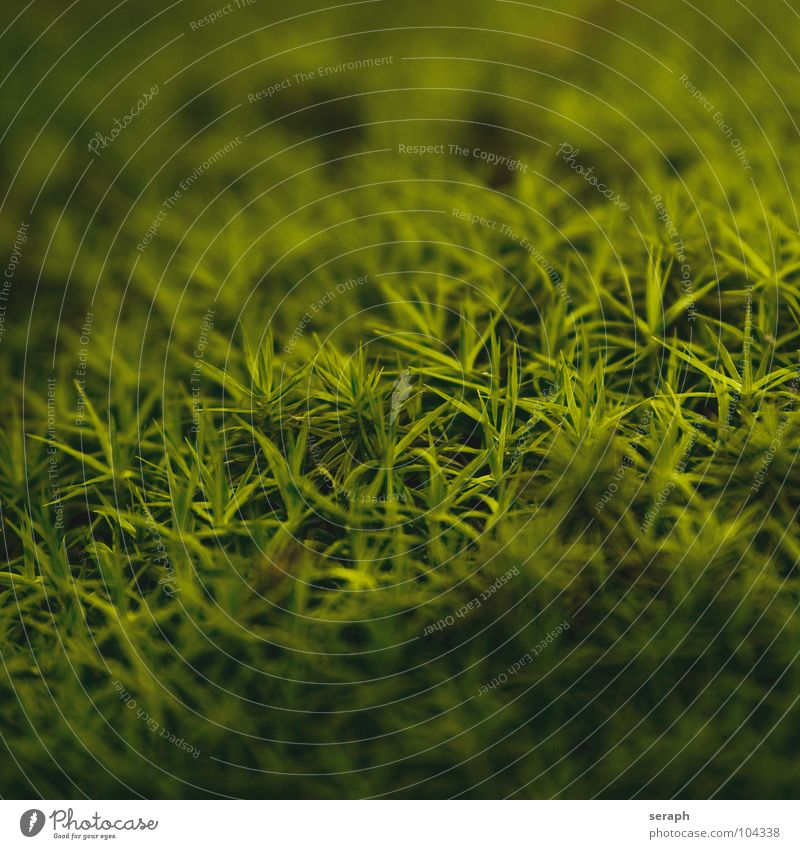 Moss Plant Green Background picture Encalypta Ground cover plant Spore Symbiosis Nature sporophyte micro Lichen Macro (Extreme close-up) Botany Growth