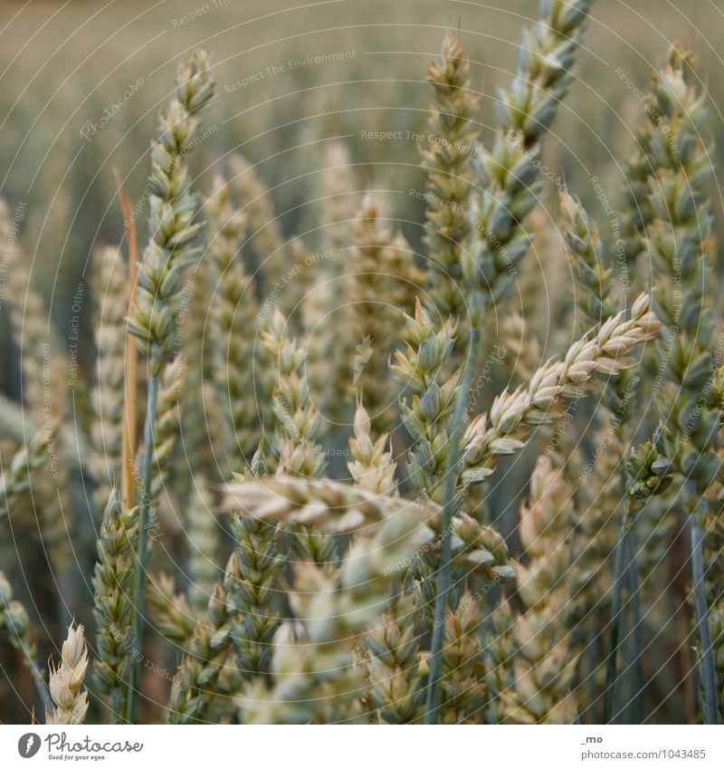 One wheat, please. Grain Environment Nature Animal Spring Summer Plant Grass Wheat Wheatfield Wheat ear Wheat grain Natural Green Field Crops Ear of corn