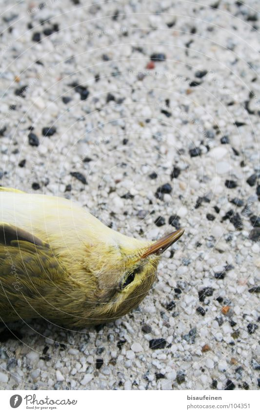 Unseen Wall Animal Bird Lie Death Accident European Greenfinch Green finch Feather Colour photo Copy Space top Bird's-eye view Animal portrait Closed eyes