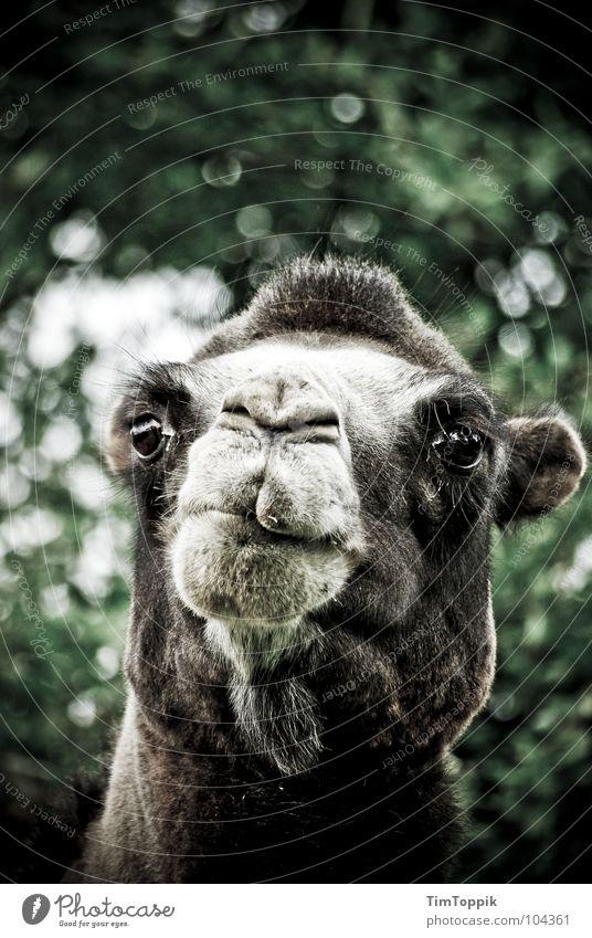Curiosity Desert Zoo Africa Mammal Snout Animal Arabia Camel Defiant Sahara Dromedary