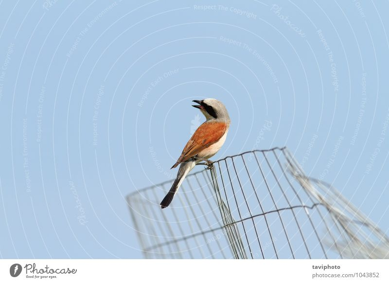 red backed shrike Sky Nature Blue Beautiful Colour Summer Red Animal Environment Brown Bird Wild Observe Photography Clean Beauty Photography
